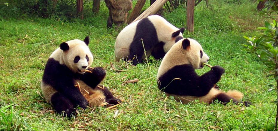 Centro di Protezione dei Panda - Chengdu