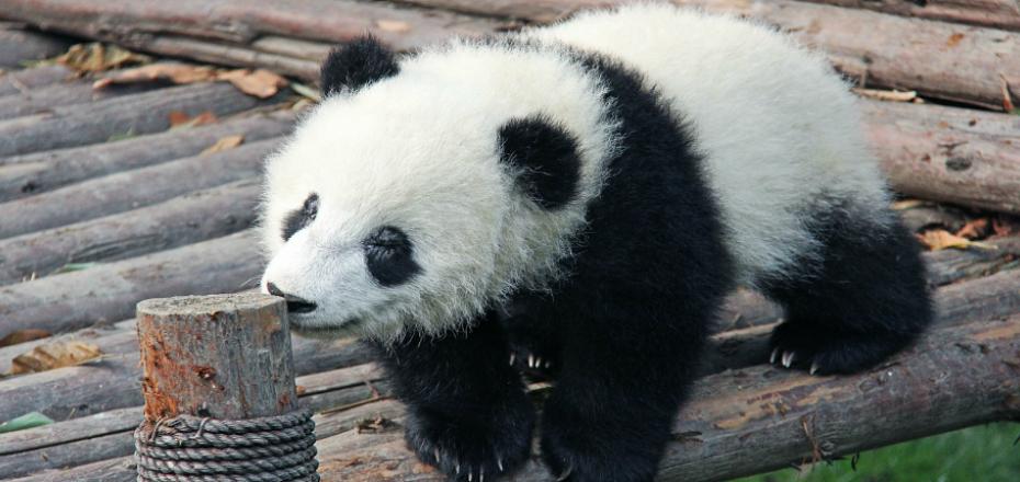 Centro di Protezione dei Panda Giganti Chengdu